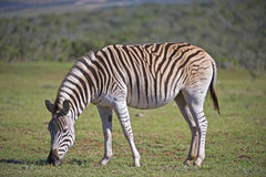 Pale Striped Zebra Royalty Free Stock Images