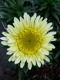Pale Sunflower Royalty Free Stock Photos