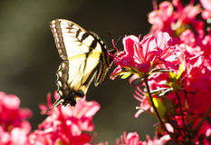 Pale Swallowtail butterfly on azaleas Stock Images