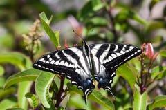 Pale Swallowtail Butterfly am Laguna-Küsten-Wildnis-Park Stockfotografie