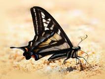 Pale Swallowtail Butterfly na areia fotografia de stock royalty free
