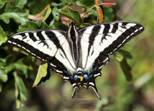 Pale Swallowtail butterfly Royalty Free Stock Photography