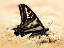 Pale Swallowtail Butterfly on the Sand Royalty Free Stock Photography