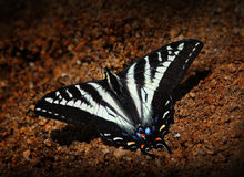 Pale Swallowtail Butterfly. Swallowtail butterfly in wet sand sipping water stock photos