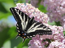 Pale Swallowtail on a Lilac Royalty Free Stock Photography