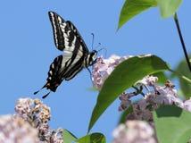 Pale Swallowtail (Papilio eurymedon) Side View Stock Photos