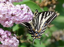 Pale Swallowtail (Papilio eurymedon) Underside Stock Photo
