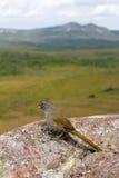 Pale-throated Pampa-finch (Embernagra longicauda). Royalty Free Stock Photos
