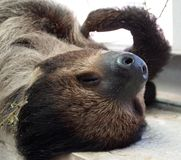 Pale-throated sloth Stock Images