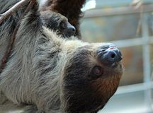 Pale-throated sloth. A pale-throated sloth (Bradypus tridactylus) with her baby Royalty Free Stock Images