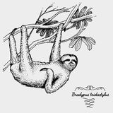Pale throated sloth engraved, hand drawn vector illustration in woodcut scratchboard style. Pale throated sloth engraved, hand drawn vector illustration in Stock Image