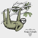 Pale throated sloth engraved, hand drawn vector illustration in woodcut scratchboard style, vintage drawing species. Stock Photo
