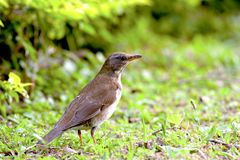 Pale thrush a bird Royalty Free Stock Images