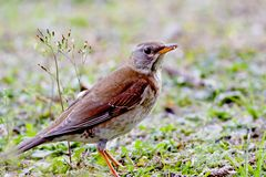Pale thrush a bird Stock Images