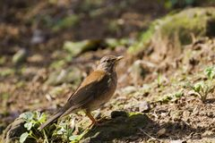 Pale Thrush,Turdus pallidus Stock Photo