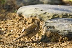 Pale Thrush,Turdus pallidus Royalty Free Stock Photos