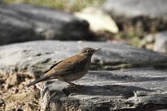 Pale Thrush,Turdus pallidus Royalty Free Stock Photo