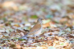 Pale Thrush Stock Photo