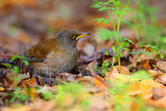 Pale Thrush Royalty Free Stock Photography