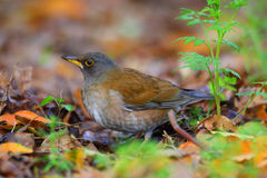 Pale Thrush Royalty Free Stock Image