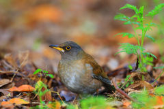 Pale Thrush Stock Image