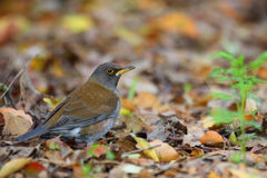 Pale Thrush Royalty Free Stock Images