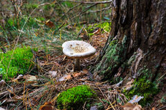 Pale toadstool in autumn forest Stock Photo