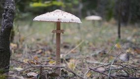 Pale toadstool - the fly agaric. Amanita phalloides. Two fungi in one forest autumn meadow. The camera is in motion stock footage