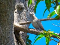 Pale Tobacco Dove, der auf der Niederlassung eines Mangobaums roosting ist stockfotografie