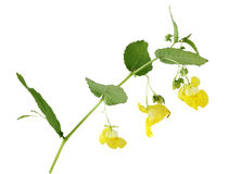 Pale Touch-me-not. (Pale Jewelweed) Impatiens pallida wild flower Royalty Free Stock Image