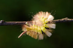 Pale Tussock caterpillar Royalty Free Stock Images