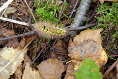 Pale Tussock caterpillar Stock Photo
