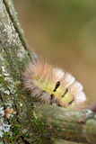 Pale Tussock caterpillar Stock Image