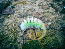 Pale tussock caterpillar. Green hairy Calliteara pudibunda found in Holland dutch forest. Red angle Royalty Free Stock Photos