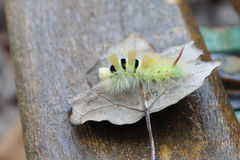 Pale Tussock. Caterpillar (pale tussock) walking on a dried leaf Stock Image