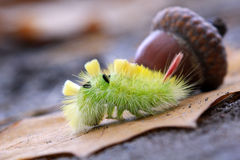 The Pale Tussock caterpillar - yelow hairy Stock Photos