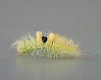 Pale tussock moth caterpillar, Dasychira pudibunda Stock Images