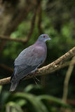Pale-vented pigeon, Columba cayennensis Royalty Free Stock Photo