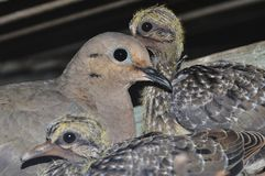 Pale-vented Pigeon Patagioenas cayennensis with cubs in the nest. royalty free stock photo