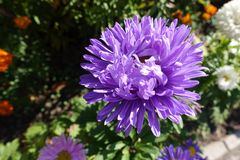 Pale violet flowerhead of china aster. Pale violet flower head of china aster Stock Images
