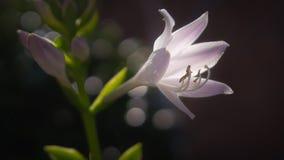 Pale violet white flower