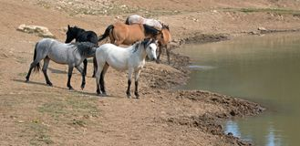 Pale white buckskin stallion with herd of wild horses at waterhole in Pryor Mountains Wild Horse Range in Montana USA Royalty Free Stock Images