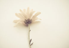 Pale white flower Stock Image