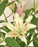 Pale white lilium flower Stock Photography