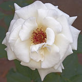 Pale white rose close up Stock Image