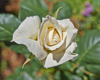 Pale white rose flower closeup Royalty Free Stock Photos