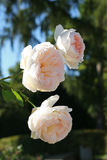 Pale white roses closeup. Pale white roses flowers closeup Stock Image