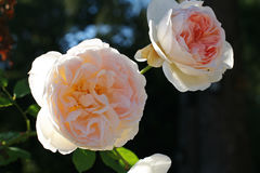 Pale white roses closeup. Pale white roses flowers closeup Stock Photo