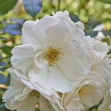 Pale white wild rose flower Stock Images
