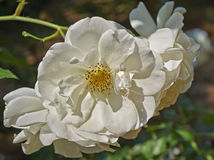 Pale white wild rose flower Stock Photo